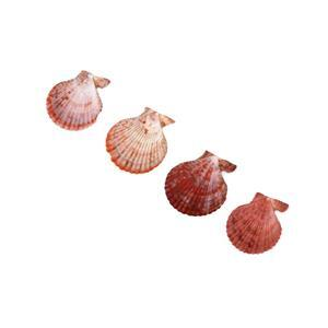 Scallop Shell Top Drilled Approx 61x65mm, 20pcs